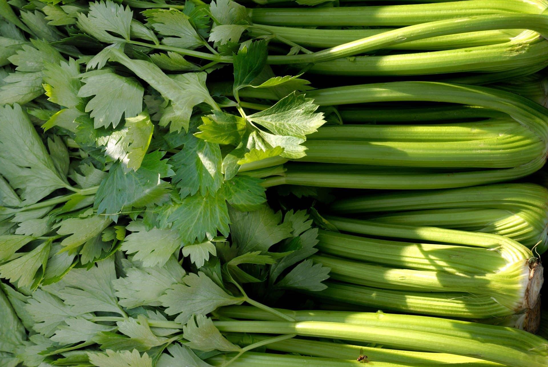 Celery Di vernio