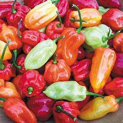 Hot Chilli Pepper Habanero Tobago Seasoning