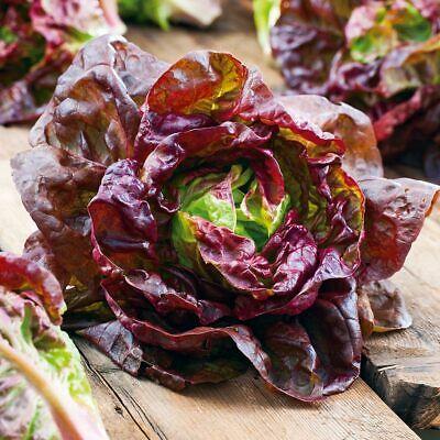 Lettuce Heirloom Marvel of 4 Seasons