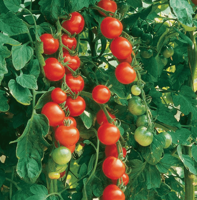 Tomato Gardeners Delight